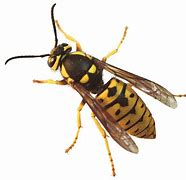Photo of a Yellow Jacket Wasp